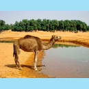 Dromedary - Camel with one hump on its body